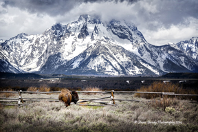 buffalo at the tetons
