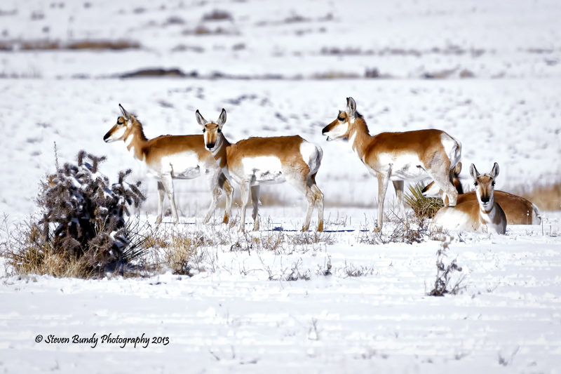 Antelope in Snow – Cimarron, NM – 2013