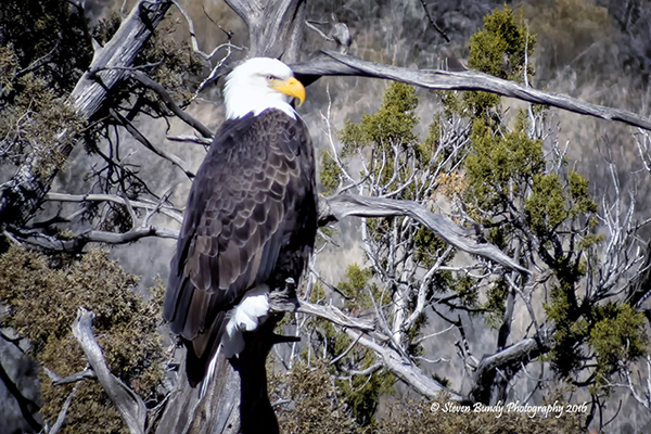 Bald Eagle – Pilar, NM – 2016