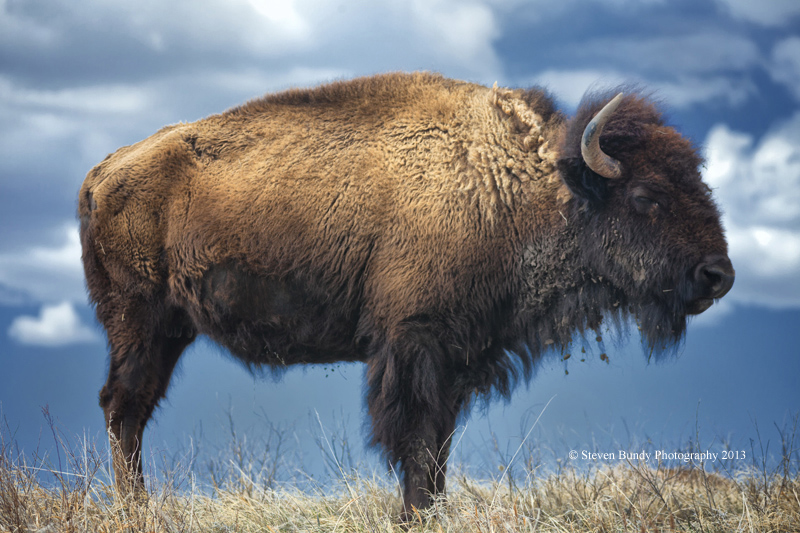 South Dakota Buffalo – Custer State Park, SD- 2013