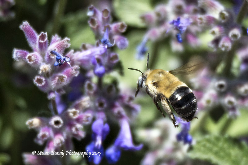 Bumble Bee – El Prado, New Mexico – 2017