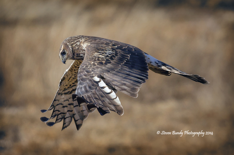 Cooper's Hawk  Monte Vista Wildlife Refuge, Colorado – 2014