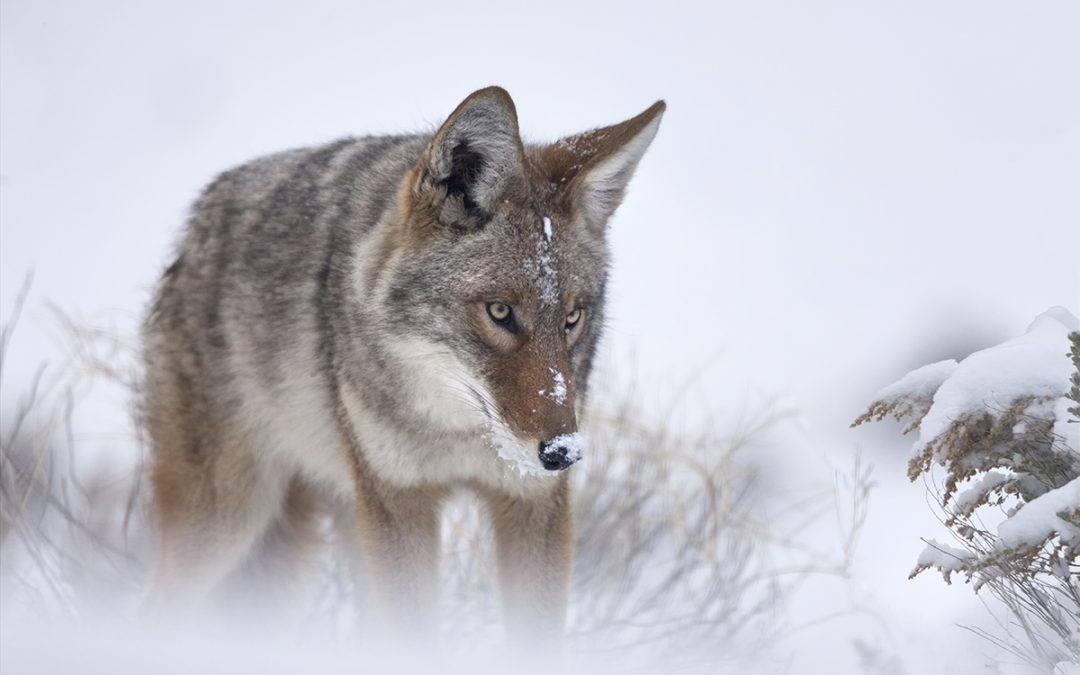 Coyote in Snow – Taos, NM – 2015