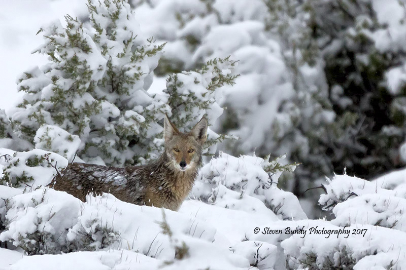 Coyote in Snow 02 – El Prado, New Mexico – 2017