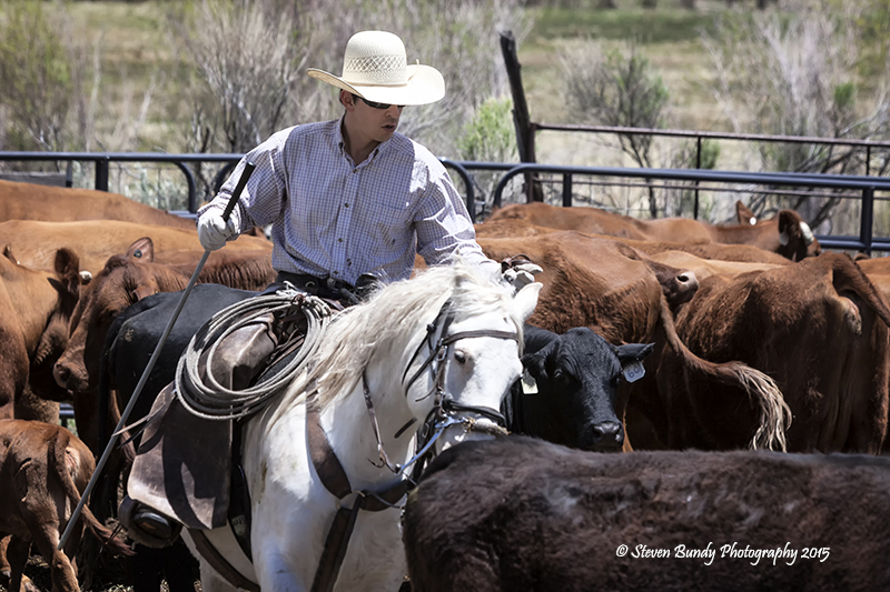 Cutting Cattle – La Madera, NM – 2015