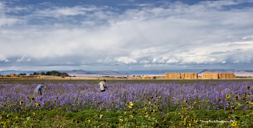 Flower Field Workers, Colorado, 2011