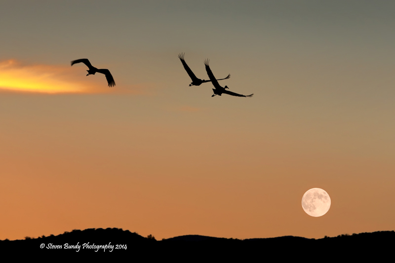 Fly Me to the Moon  Bosque de Apache, NM – 2014