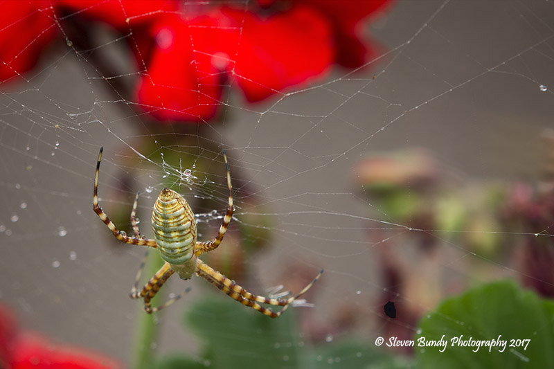 Garden Spider – Taos, NM – 2017