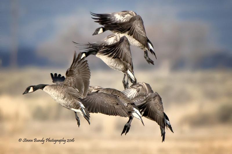 Geese Ballet – Monte Vista, CO – 2016