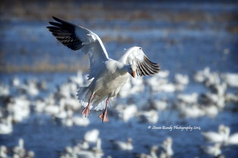 Goose Landing  Bosque del Apache, NM – 2014