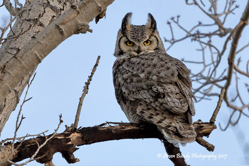 Great Horned Owl – Alamosa, Colorado – 2017