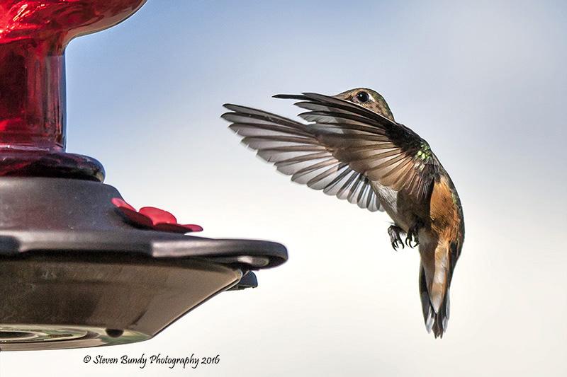 Hummingbird – Taos, NM – 2016