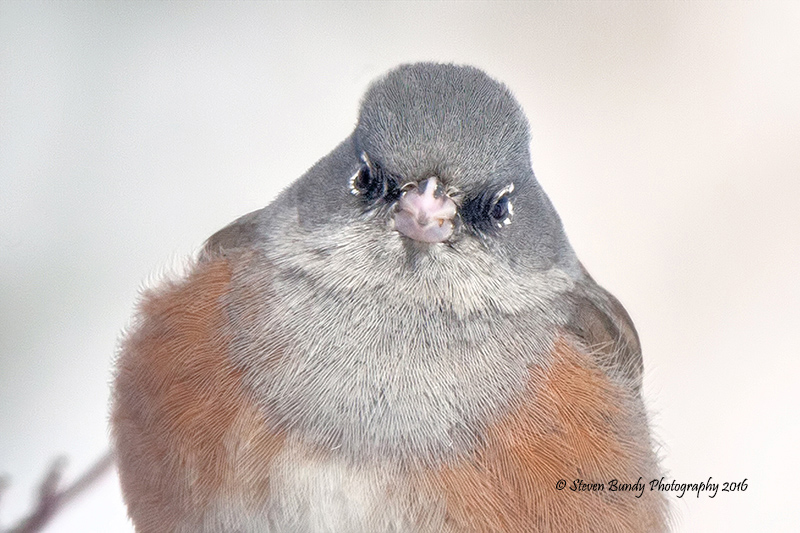 Dark Eyed Junco – Taos, NM – 2016