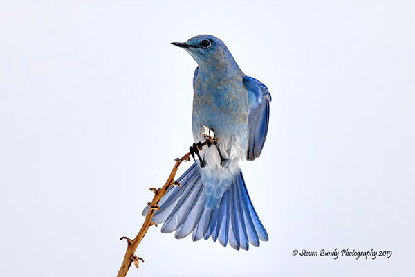 Mountain Bluebird – Taos, NM – 2015