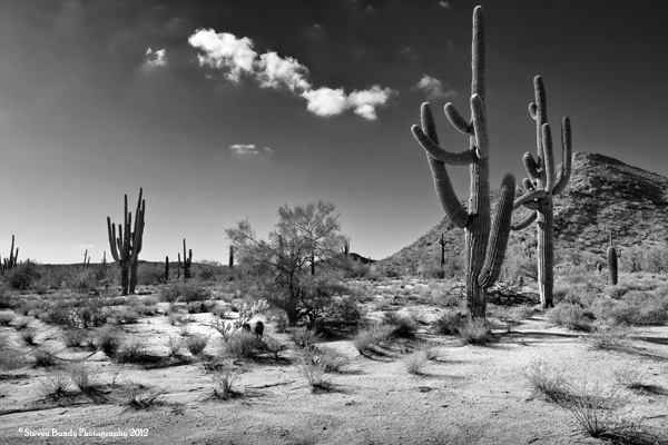 Saguaro Garden, Arizona, 2011