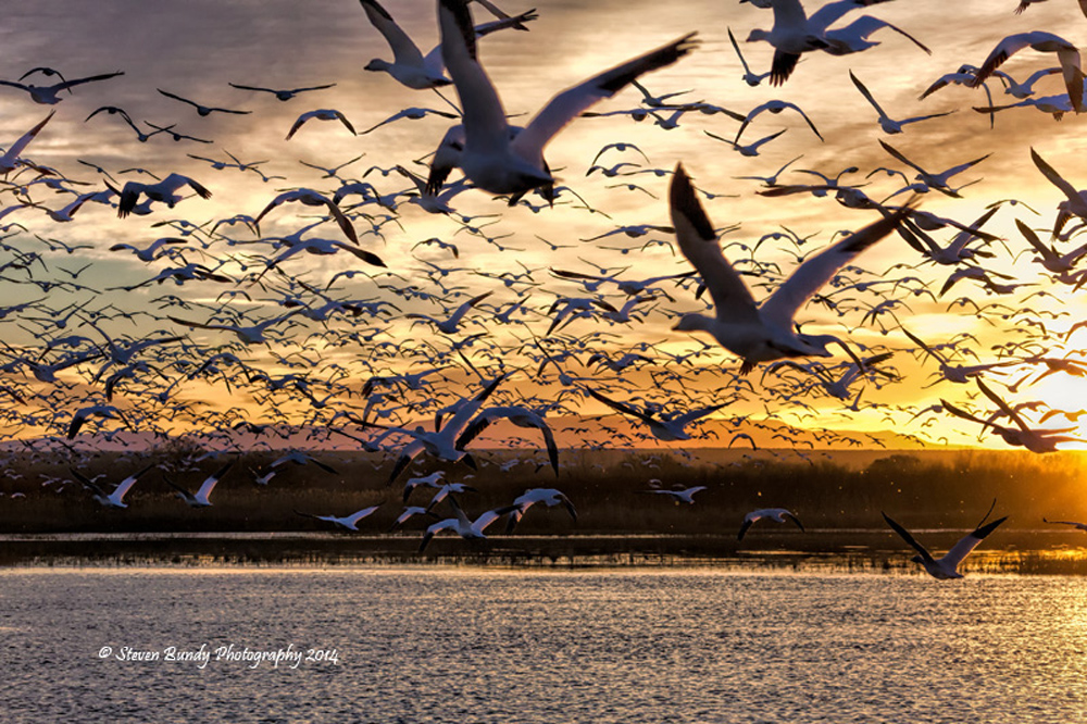 Snow Geese Ascension  Bosque del Apache, NM – 2014